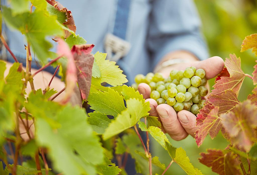 Como é a vindima ou colheita das uvas